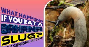 What Happens If You Eat A Banana Slug